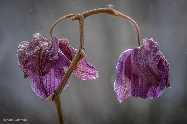Orchidea26dec